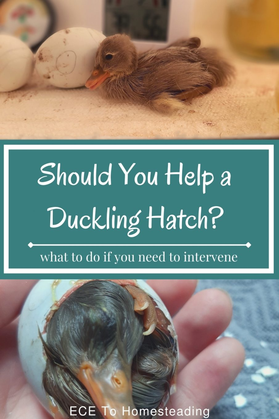 should you help ducklings hatch