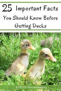 important facts to know before getting ducks