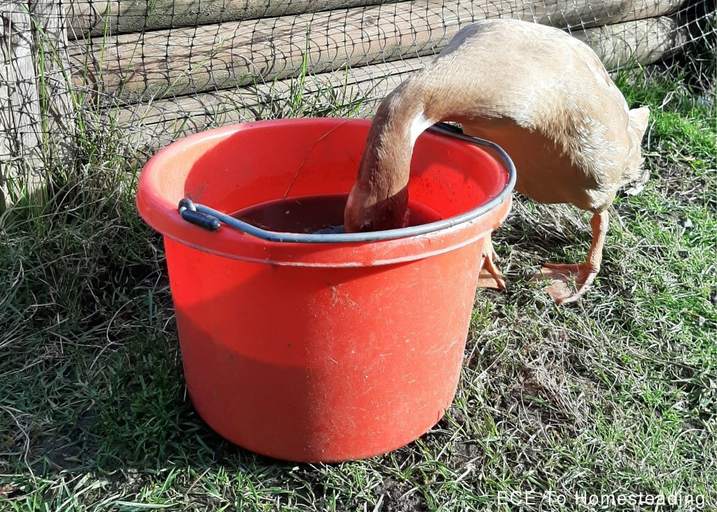 ducks need to dunk their whole heads in water