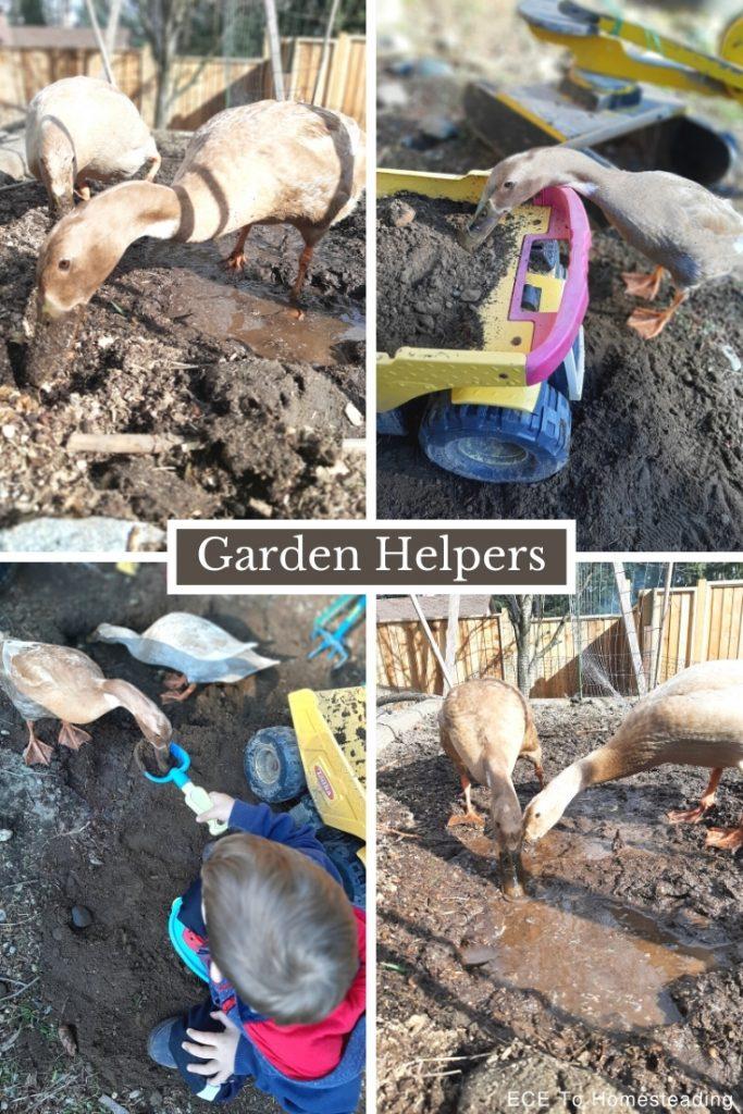 ducks helping in the garden
