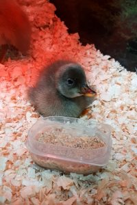 duckling in a brooder