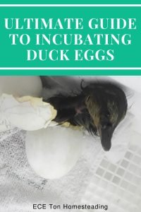 ultimate guide to incubating duck eggs